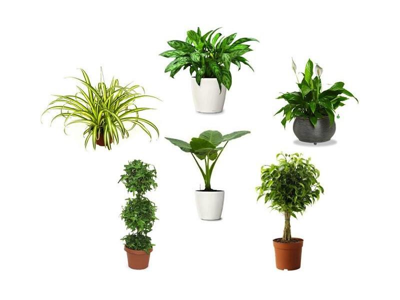 Zöld Szobanövények
